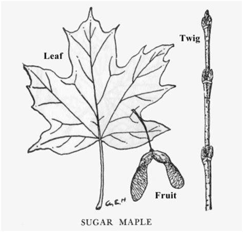 coloring page of sugar maple tree sugar maple