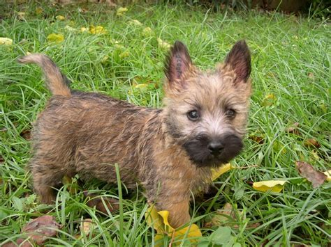 cairn terrier puppy cairn terrier puppy puppies eeeee