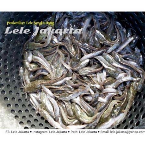 Bibit Ikan Bawal Di Cirebon jual bibit lele berkualitas inicio