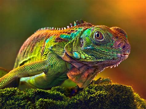 can iguanas change color wallpaper hd camaleon some lizards change color