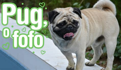 what does a pug look like images frompo 1 what do pugs do 28 images dogs information pug temperamento caracter 237 sticas e