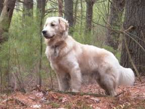 golden retriever shedding images