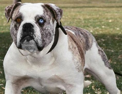 alapaha blue blood bulldog alapaha blue blood bulldog a breed of guard