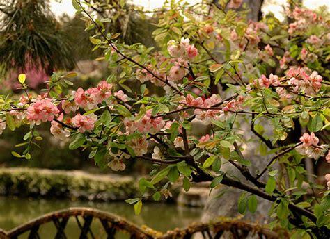 common landscaping plants common flowering quince oregon state univ landscape plants