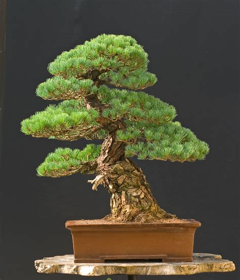 bonsai tree 1000 images about bonsai on pinterest bonsai trees