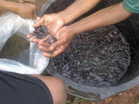 Jual Bibit Ikan Lele Murah Surabaya bibit lele lele sangkuriang budidaya lele ikan lele bibit