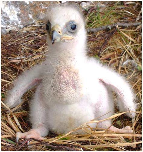 Minyak Tawon Yang Besar elang emas elang raksasa yang disegani manusia republik