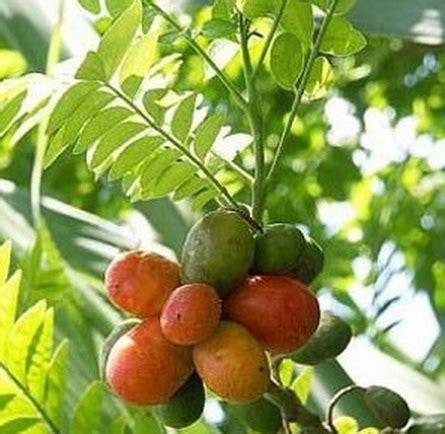 Custom Fruit Buah Tambah Nama tanaman kedondong merah ambarella 50 70 cm