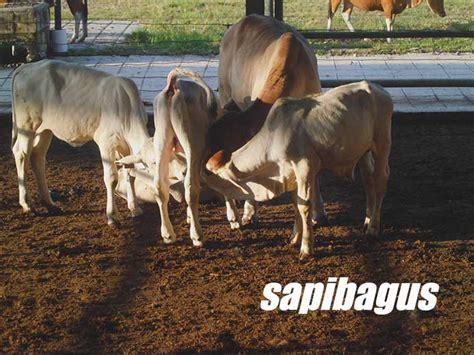 Bibit Sapi Di Bengkulu prospek bisnis pembibitan sapi potong sapibagus