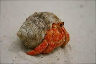 Hermit Crab, photo by DanTheBeastMan