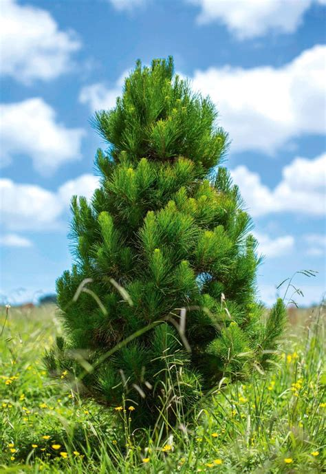 best real christmas tree nz what s the best real tree stuff co nz