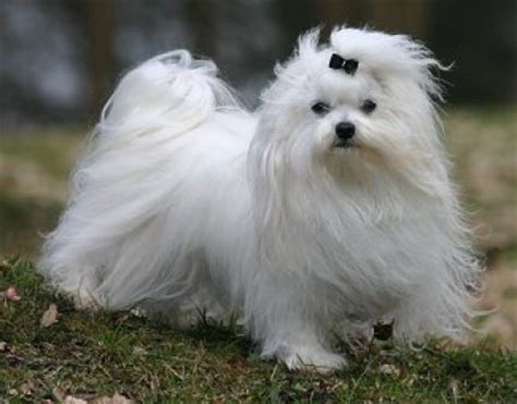 Do Maltese Shed Hair by Maltese History Personality Appearance Health And Pictures