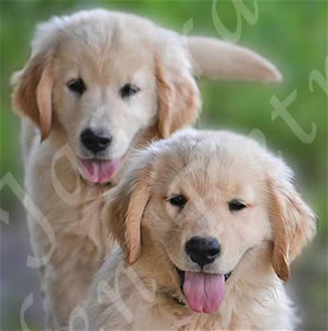 golden retriever puppies dfw image gallery retriever breeders