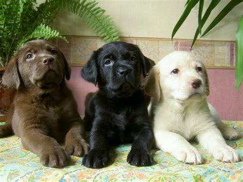 pics of lab puppies labrador retrievers animals wiki pictures stories