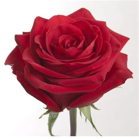 Checkmate Finder Showtime Checkmate Standard Roses Flowers By