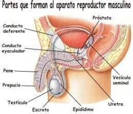 cuales son las partes del pene sistema reproductor masculino ecured