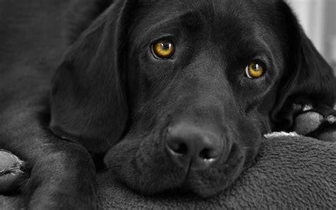 where did golden retrievers originate where did the black labrador originate photo