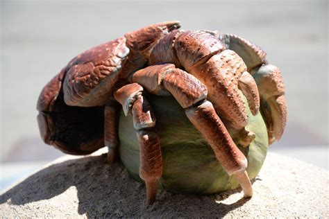 coconut crab coconut crab wallpapers backgrounds