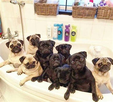 pug tub 15 pugs of the day