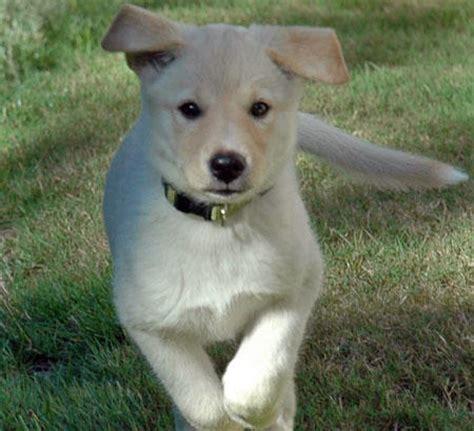 aussie lab mix puppies australian shepherd chocolate lab mix hvgj