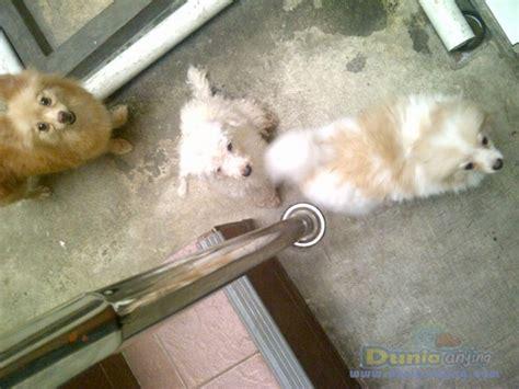 dunia anjing jual anjing pomeranian anjing pom betina
