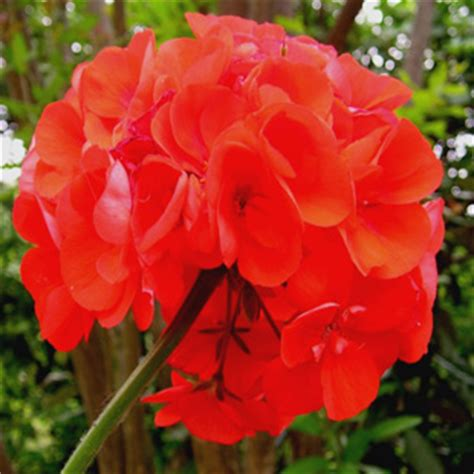 fiore geranio fiori di geranio