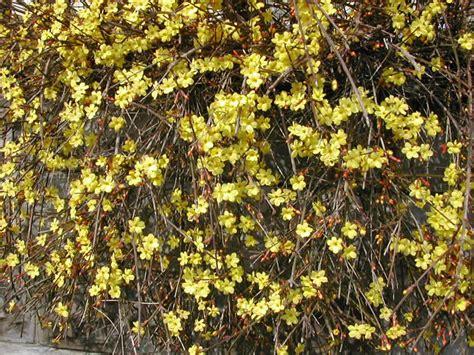 calicanto fiore vezzano net fiori di calicanto