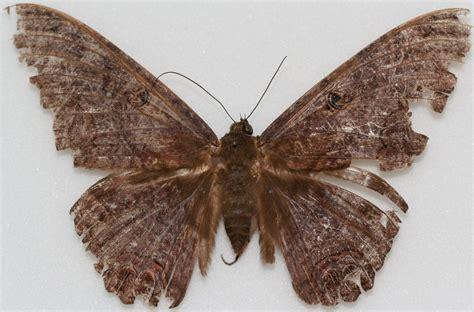 imagenes de mariposas negras grandes fotos de mariposas negras im 225 genes y fotos