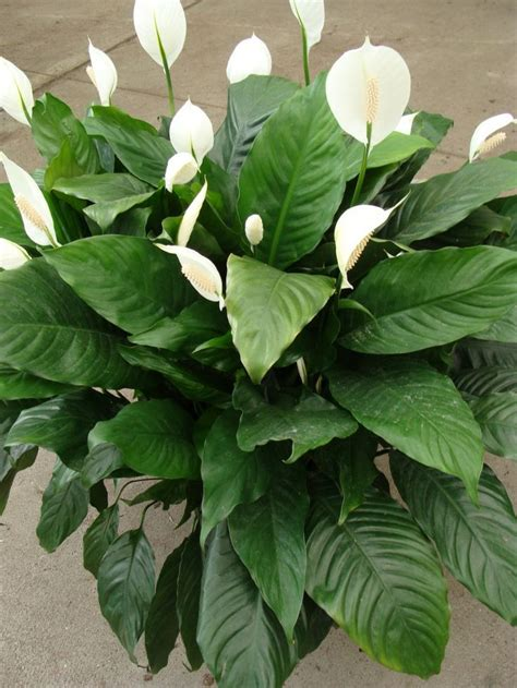tropical plants pictures  names  potted plant