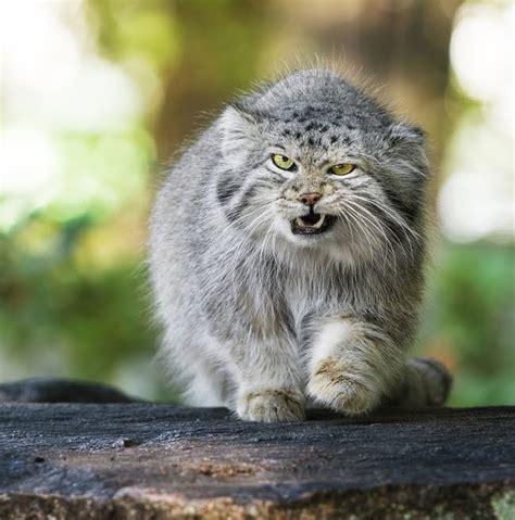 imagenes impresionantes de gatos pin by c caro on gatos pinterest