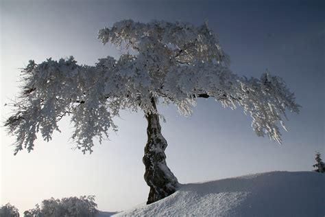 fiore neve albero nella neve foto immagini piante fiori e funghi