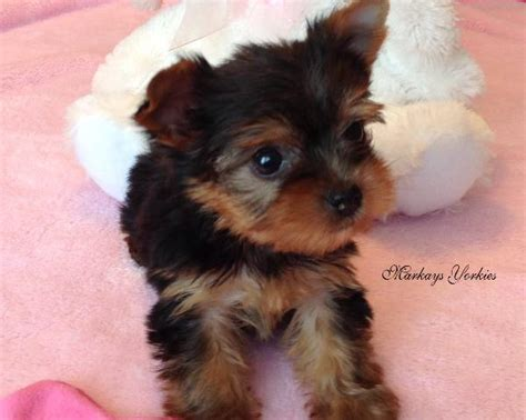 yorkie puppies minnesota teacup yorkie puppies for sale in mn breeds picture