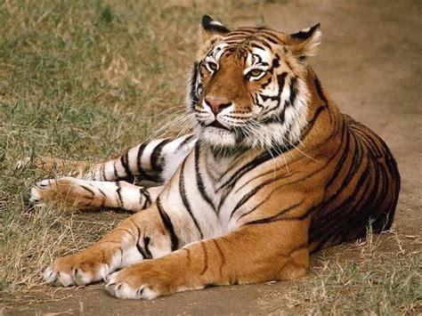 imagenes geniales de tigres 11 grandes depredadores info im 225 genes im 225 genes