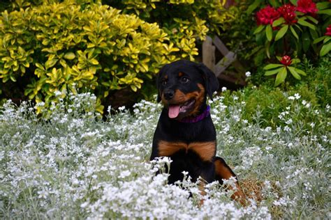 rottweiler as family rottweiler as family pet photo