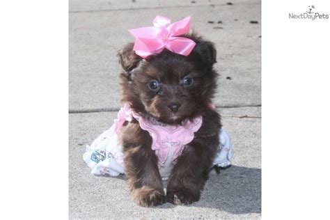 chocolate brown pomeranian for sale chocolate teacup pomeranian www imgkid the image kid has it