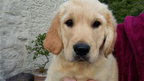 1 year golden retriever for sale 1 chunky pedigree golden retriever pup for sale llandysul ceredigion pets4homes