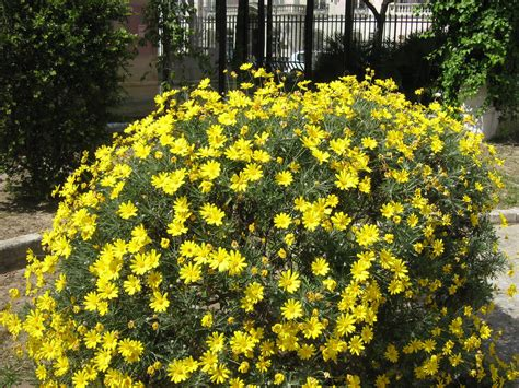 bush full with yellow flowers arbusto replecto de flores