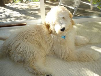 goldendoodle puppies california goldendoodles northern california breeds picture