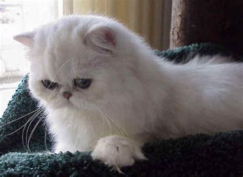 nomi persiani razze gatti chinchilla