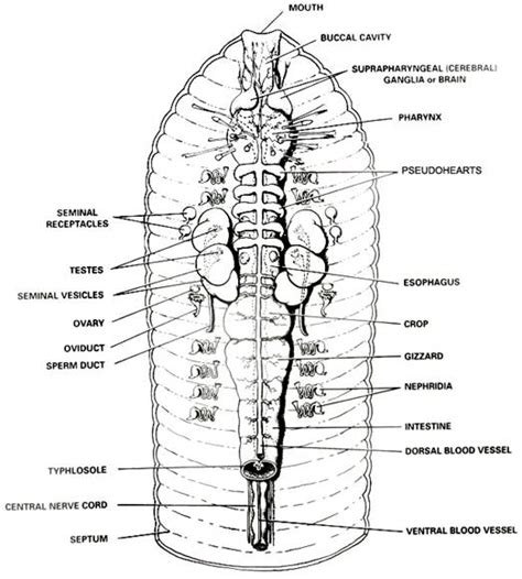 earthworm parts images evolution and the systems of the earthworm crayfish