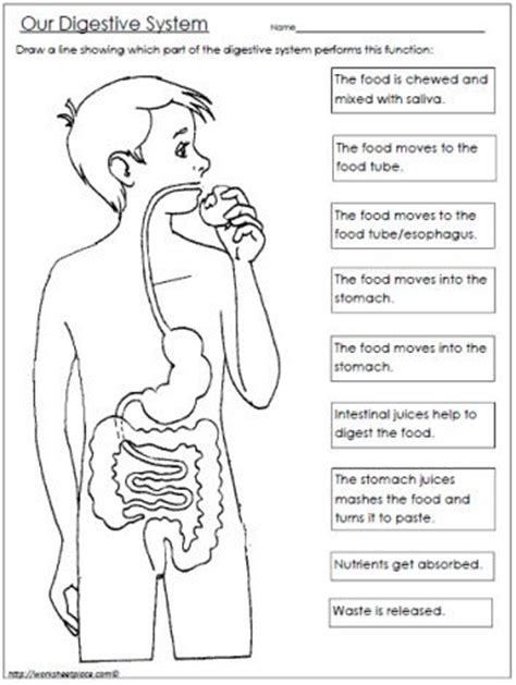 digestive system coloring page key free digestive system worksheet