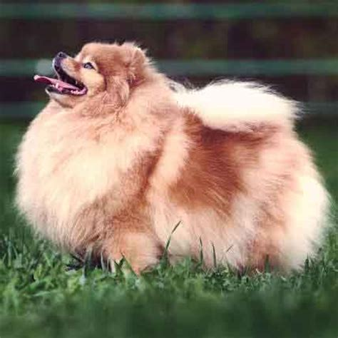 small fluffy dogs small dogs quotes like success