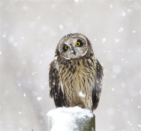 pewit snow owls 1