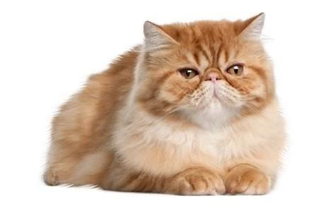 persian cats in orlando my persian kittens persian 5 of the most popular cat breeds around the world cattime