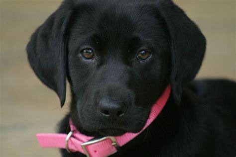 black lab puppy names black lab names