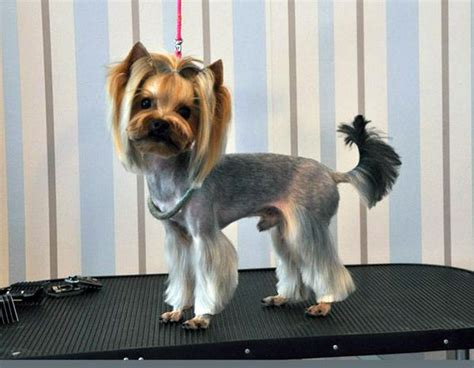 how to cut a yorkie poo s hair funny yorkie haircut i need to smile pinterest
