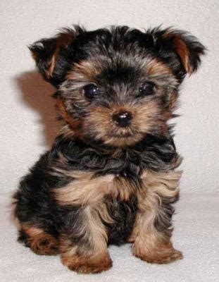 free yorkie puppies miami excellent yorkie puppies for free adoption pets for sale in the uk