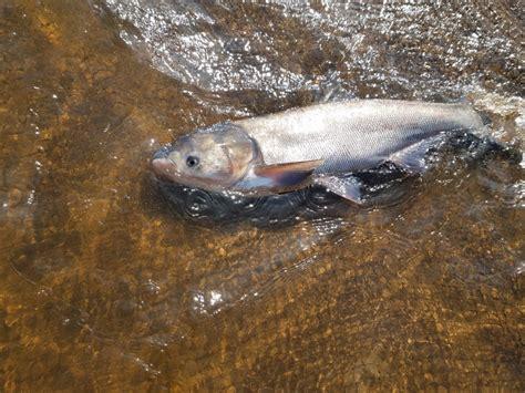 asian carp   st croix river  silver carp