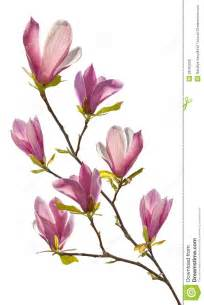 flowering branch of magnolia royalty free stock photos