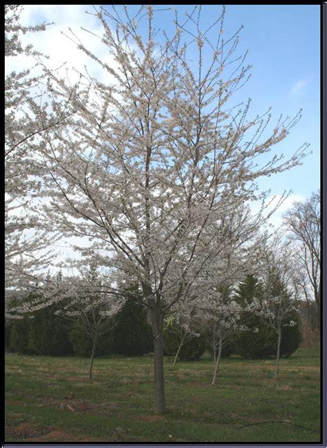 cherry tree growth rate flowering treee yoshino cherry prunus yedoensis shade tree farm